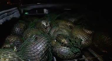 Confiscated pangolins in Vietnam