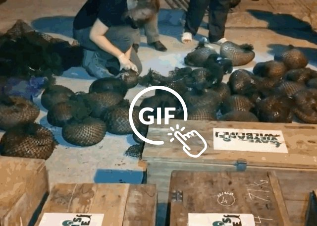 Pangolins being saved from traffickers in Vietnam