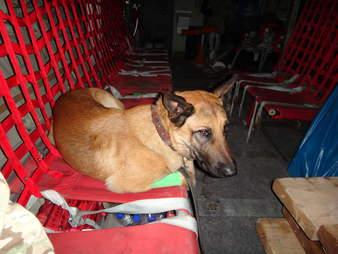 Mali the dog on a plane to Afghanistan
