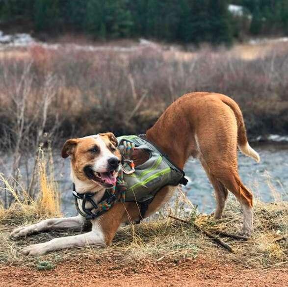 Dog wearing packs while hiking