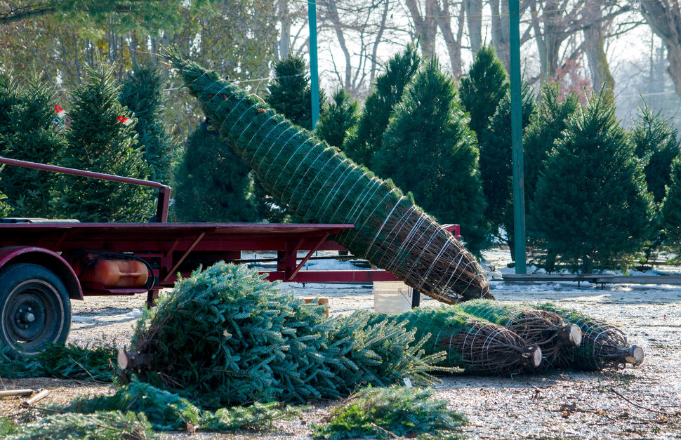 Christmas Tree Farms Near