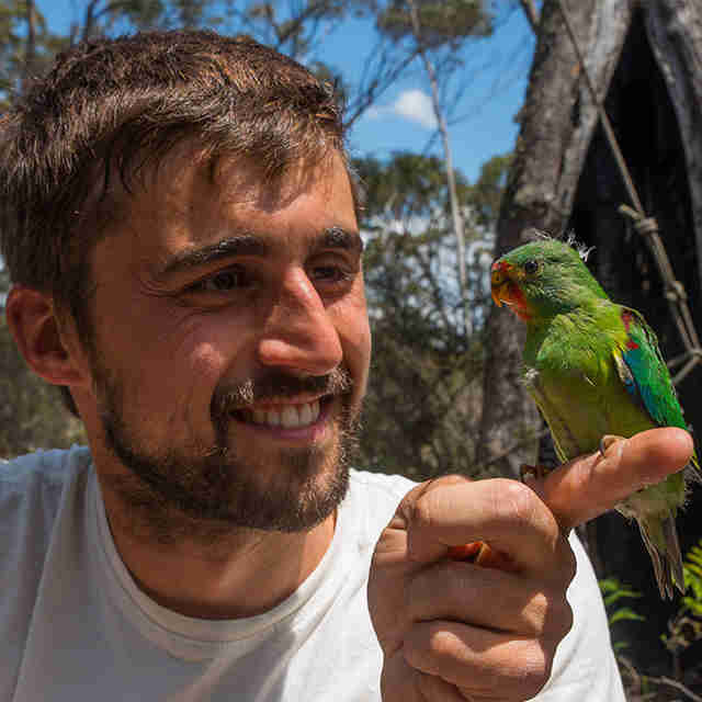 swift parrot endangered