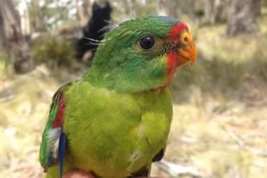 swift parrot endangered