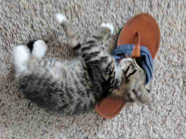 kitten in sandal