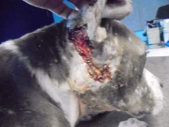 pit bull bait dog rescue
