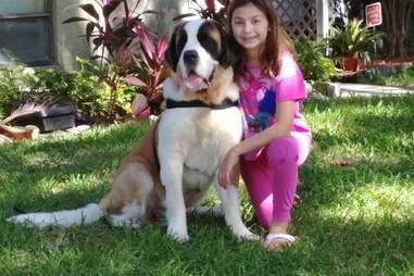 saint bernard rescue service dog