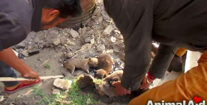 puppies stuck in tar