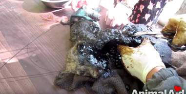 puppies stuck in tar
