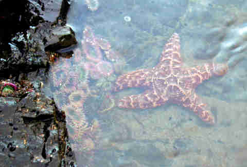 Starfish in San Diego