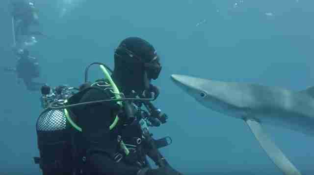 Curious blue shark coming up to diver