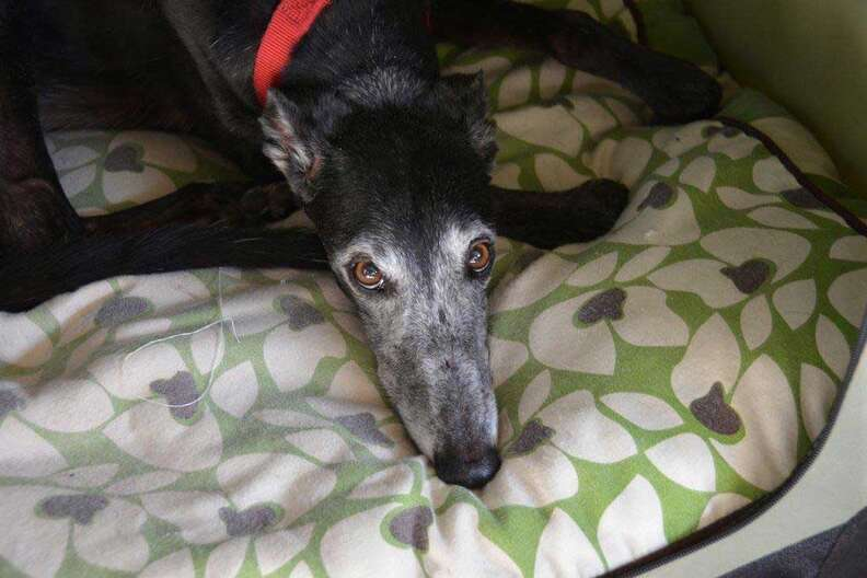 Senior ex-racing greyhound needs home after owner died