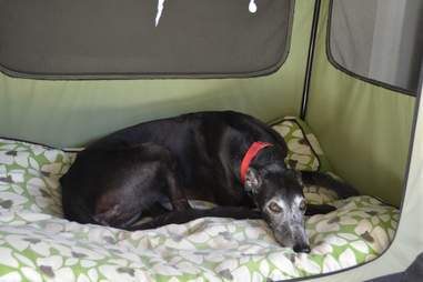 Senior ex-racing greyhound needing home