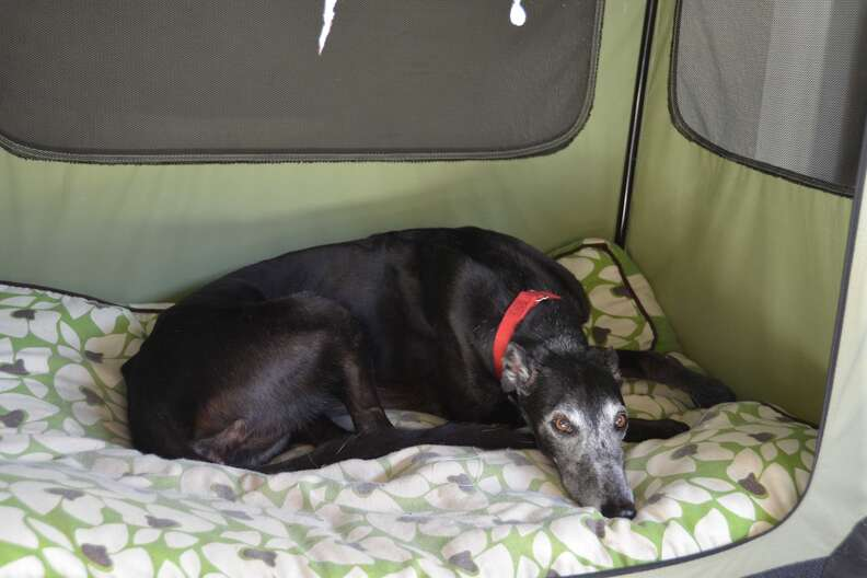 Senior ex-racing greyhound needing home