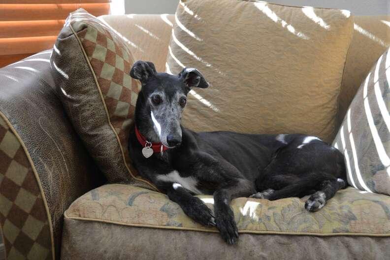 Senior greyhound needing home after owner died