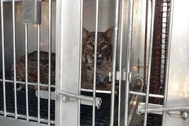 Bobcat recovers at the Wildlife Center of Virginia