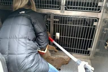 RACC Director Christie Peters helps wild bobcat into a van