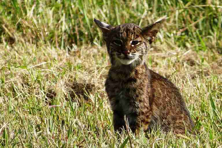 Young bobcat in a field
