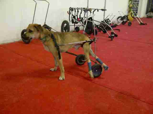 paralyzed rescue dog israel