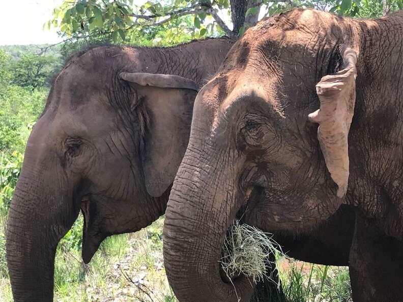 rescued circus elephants brazil