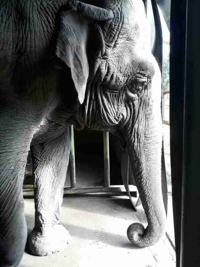 help lonely circus elephant chile