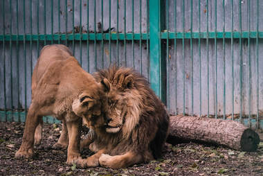 Lions suffering at illegal zoo in Bulgaria getting help