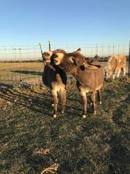 Rescued donkeys fall in love at sanctuary in Texas