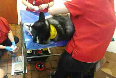 Glitch gives blood at Pet Blood Bank UK
