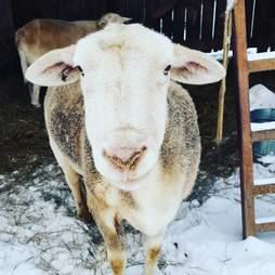 Grace the sheep