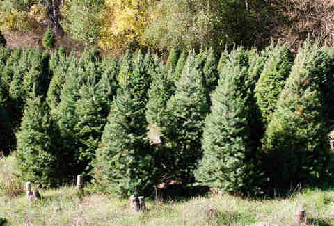Castro Valley Christmas Tree Farm