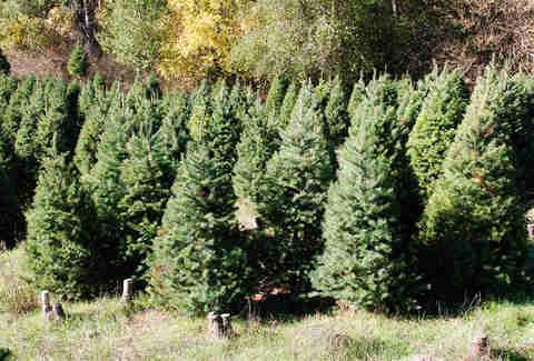 Christmas Tree Farms Near San Francisco