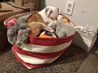 dog sleeps in toys