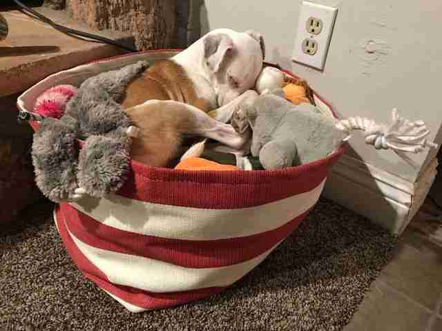 dog sleeps in toys