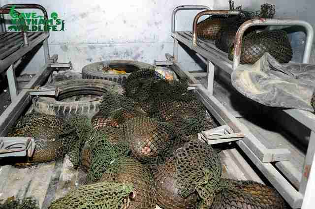 Live pangolins found with traffickers in Vietnam