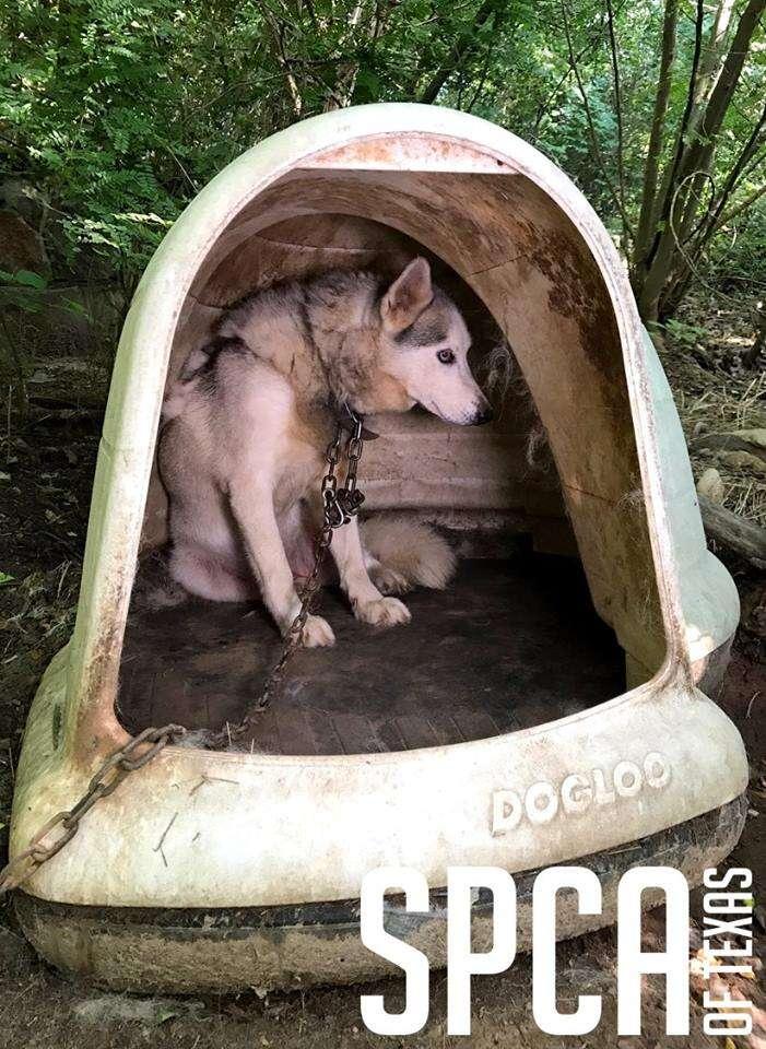 Neglected husky inside makeshift shelter