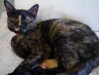 Tortoiseshell cat saved from Hurricane Harvey needs home