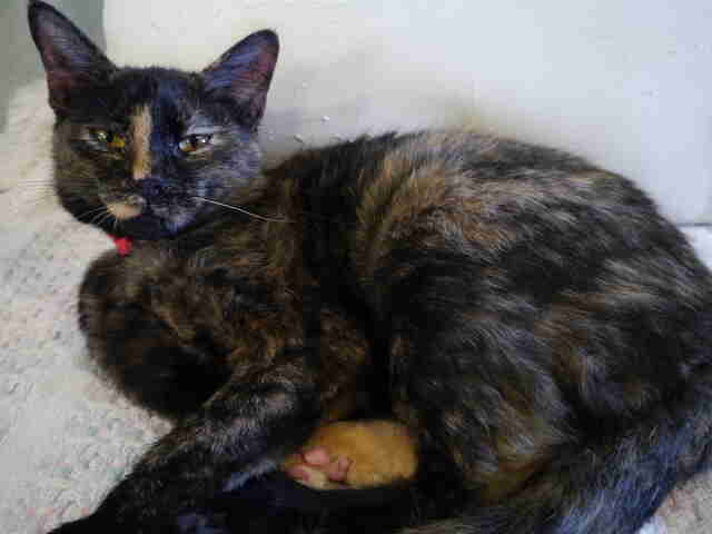 Tortoiseshell cat saved from Hurricane Harvey needs home
