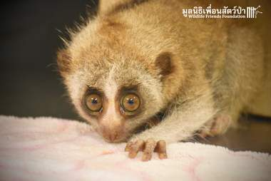 Slow loris saved from Thailand restaurant