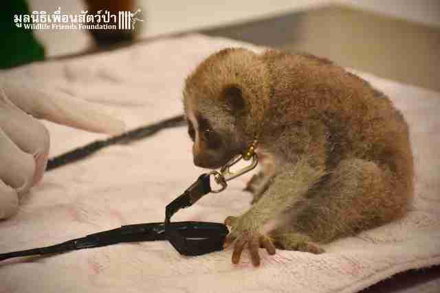 Wild slow loris rescued from restaurant in Thailand