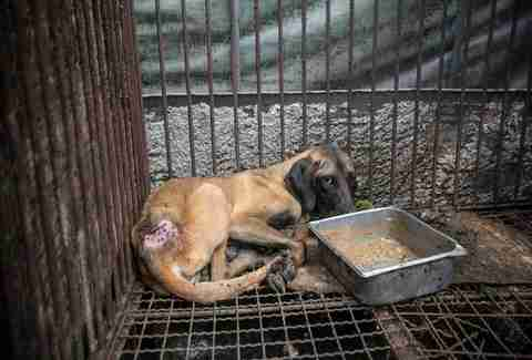 Injured meat farm dog huddles in wire cage