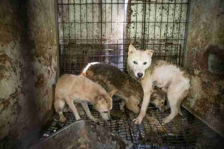 Scared Jindo dogs await their fate at a meat farm