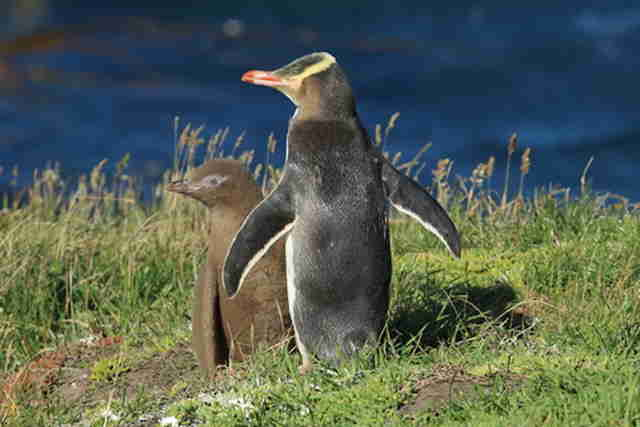 yellow eyed penguin new zealand