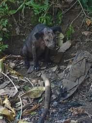 Sick, scared Bali dog hiding in a garden in Indonesia