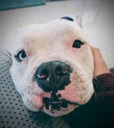 bait dog pit bull rescue