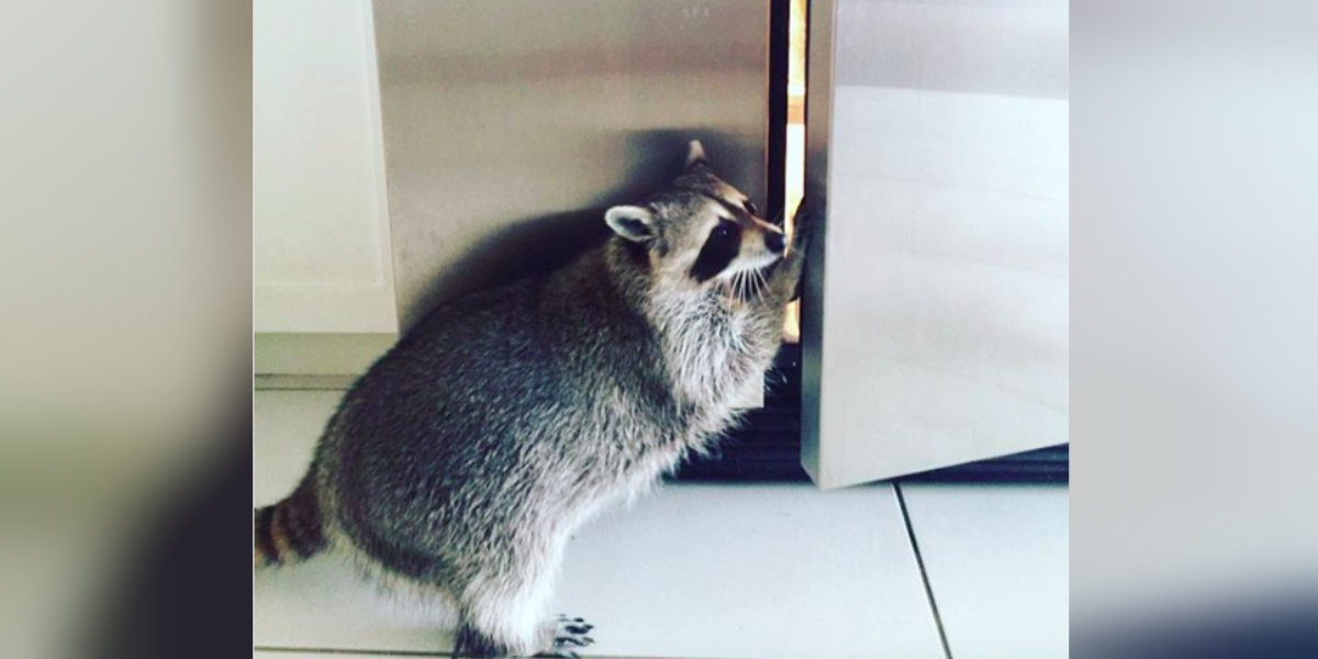 How To Humanely Get Raccoons Out Of Your House The Dodo