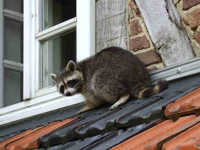 Raccoon climbing on a roof