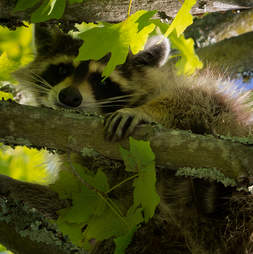 Wild North American raccoon peaking through tree branches