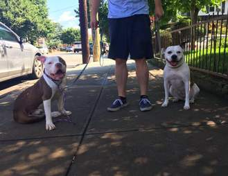 pit bull rescue new york