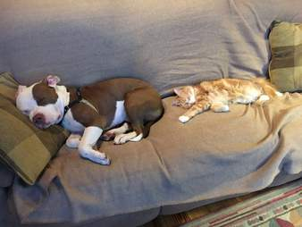 pit bull rescue adoption