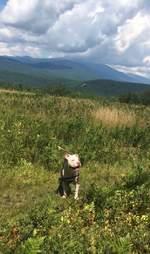 rescue pit bull adoption new hampshire