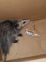 Wild opossum found tipsy in liquor store